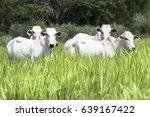 Herd Of Nelore Cattle Grazing...