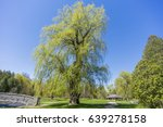 Large Mature Willow Tree...