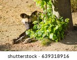 Small photo of African hunting dog