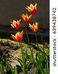 pretty tulip in a garden