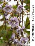 beautiful paulownia blooming... | Shutterstock . vector #639441196