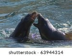 California Sea Lion  Zalophus...