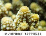 Small photo of Selective focus on polyp staghorn or branching coral, Acropora humilis