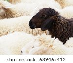close up head of black sheep in ... | Shutterstock . vector #639465412