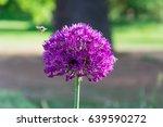 beautiful purple allium flower... | Shutterstock . vector #639590272