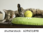 Lazy Playful Cat Lying In Cat...