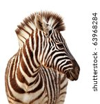 Stock photo close up portrait of a baby zebra isolated on white 63968284