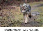 coyote  | Shutterstock . vector #639761386
