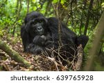Mountain Gorilla  Mother With...