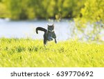 Stock photo sweet tabby cat fun running on green meadow in sunny summer day 639770692