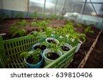 tomato seedlings in the... | Shutterstock . vector #639810406