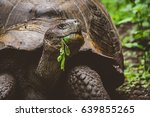 Stock photo giant tortoise tortuga on the galapagos islands 639855265