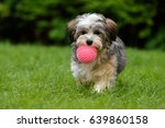 Stock photo playful havanese puppy dog brings a pink ball towards the camera in the grass 639860158