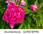 beautiful tree peony.  closeup... | Shutterstock . vector #639878998
