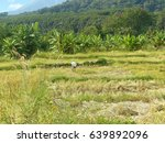 Landscape Of Golden Rice Field...