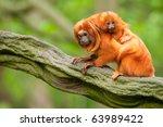 Stock photo cute golden lion tamarin with baby leontopithecus rosalia 63989422
