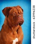 Dogue De Bordeaux Dog Portrait...