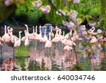 pink flamingos on the pond in... | Shutterstock . vector #640034746