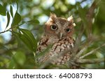 Wood Owl perched in a tree during daylight hours. - stock photo