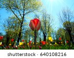 Colorful Tulips On Blue Sky...