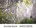 wisteria flowers with beautiful ... | Shutterstock . vector #640122856