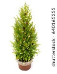 Christmas Tree Cypress In A Pot ...