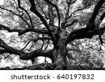 Ancient Oak Tree With Sturdy...
