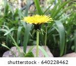 dandelion in nature   Shutterstock . vector #640228462