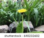 dandelion in nature   Shutterstock . vector #640232602