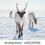 reindeer in winter tundra | Shutterstock . vector #640235506