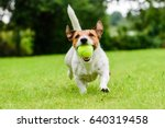 Stock photo funny dog with tennis ball in jaws playing at lawn 640319458