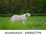 white color labrador retriever... | Shutterstock . vector #640665796