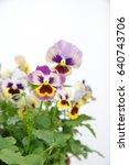 Small photo of Viola, Common Violet, Viola tricolor