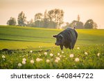 Pig On Green Wheat Field  And...
