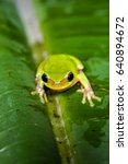 Small photo of Its name is Hyla chinensis. Chinese tree toad (Hyla chinensis), frog , Baby , Taiwan, Asia.