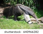 anteater nosing around for some ... | Shutterstock . vector #640966282