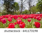 Red Tulips In A City Park....