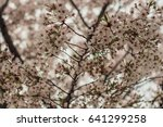 cherry blossoms flowers  korea | Shutterstock . vector #641299258
