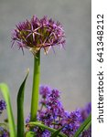 Small photo of Purple ball flower of persian onion (allium cristophii) in german flowerbed with bugleherb (ajuga reptans).