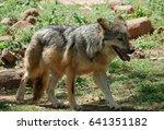 Mexican Grey Wolf Full Body...