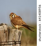 Small photo of American Kestrel stands guard on a wooden fence post.