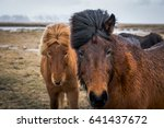 two icelandic horses in pasture | Shutterstock . vector #641437672