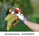 Fresh harvested white grape with pruner in the hand - stock photo