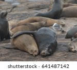 Two Sea Lions Cuddle In Popula...