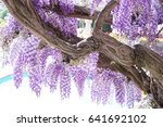 Small photo of Wisteria blooms all along the shore of Lake Como, Italy