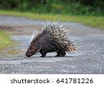 malayan porcupine  himalayan... | Shutterstock . vector #641781226
