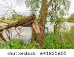 Fallen Willow Tree On The Bank...