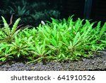 Small photo of Indian aquatic plants (Hygrophila pinnatifida)