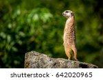 Meerkat Family Member  Suricata ...