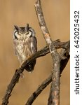 Northern White Faced Owl ...
